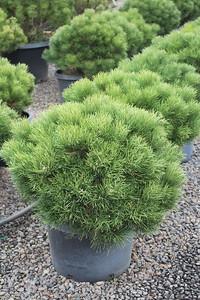 Pinus nigra 'Hornibrookiana', STD #10