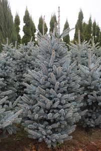 Picea pungens 'Fat Albert' (field grown) (3)