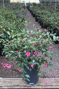 Camellia sas  'Chansonette' #5 (2)