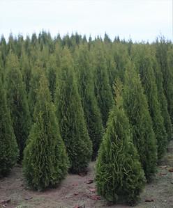 Thuja occ  'Emerald Green' (field grown)