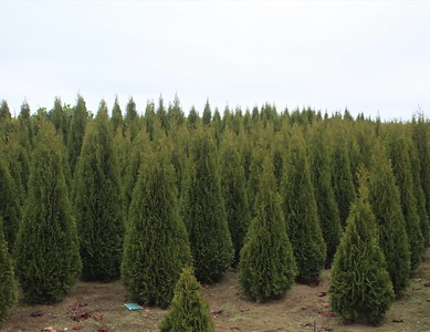 Thuja occ  'Emerald green' (field grown) (3)