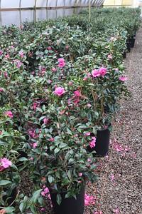 Camellia sas  'Chansonette' #5 Mass (2)