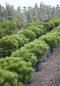 Pinus nigra 'Hornibrookiana', STD #10 Mass