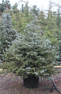 Picea pungens 'Baby Blue' 3-4 ft #10 (2)