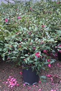 Camellia sas  'Chansonette' #5 Group