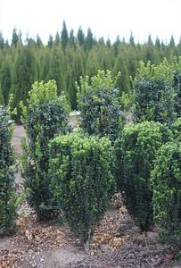 Buxus s  'Green Pillar'