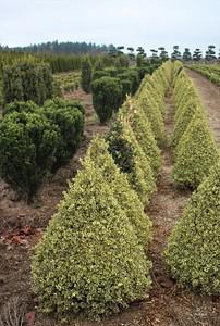 Buxus s  'Variegata' (field grown) (2)