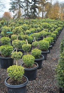 Buxus sempervirens, 4 Ball (field grown) 42-48 in #15