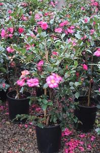 Camellia sas  'Kanjiro' #5