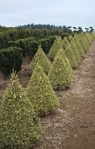 Buxus s  'Variegata' (field grown)