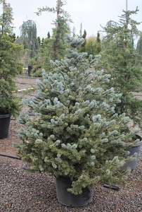 Picea pungens 'Baby Blue' 3-4 ft #10