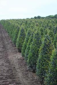 Buxus sempervirens, Pyramid (field grown) Mass