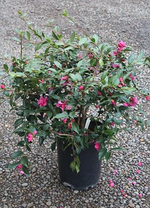 Camellia sas  'Chansonette' #5
