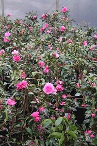 Camellia sas  'Chansonette' #5 Flowers and Foliage