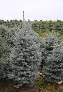 Picea pungens 'Fat Albert' (field grown)