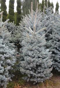 Picea pungens 'Fat Albert' (field grown) (2)