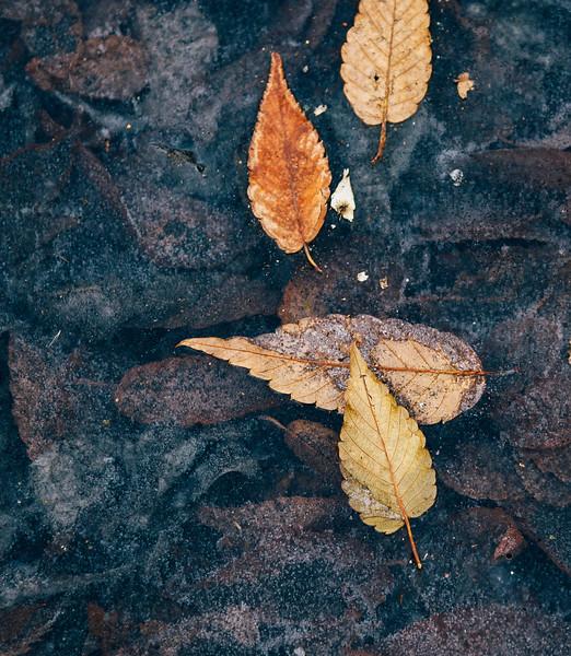 Lynn frozen leaves 1