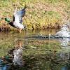 11 28 18 Flying duck