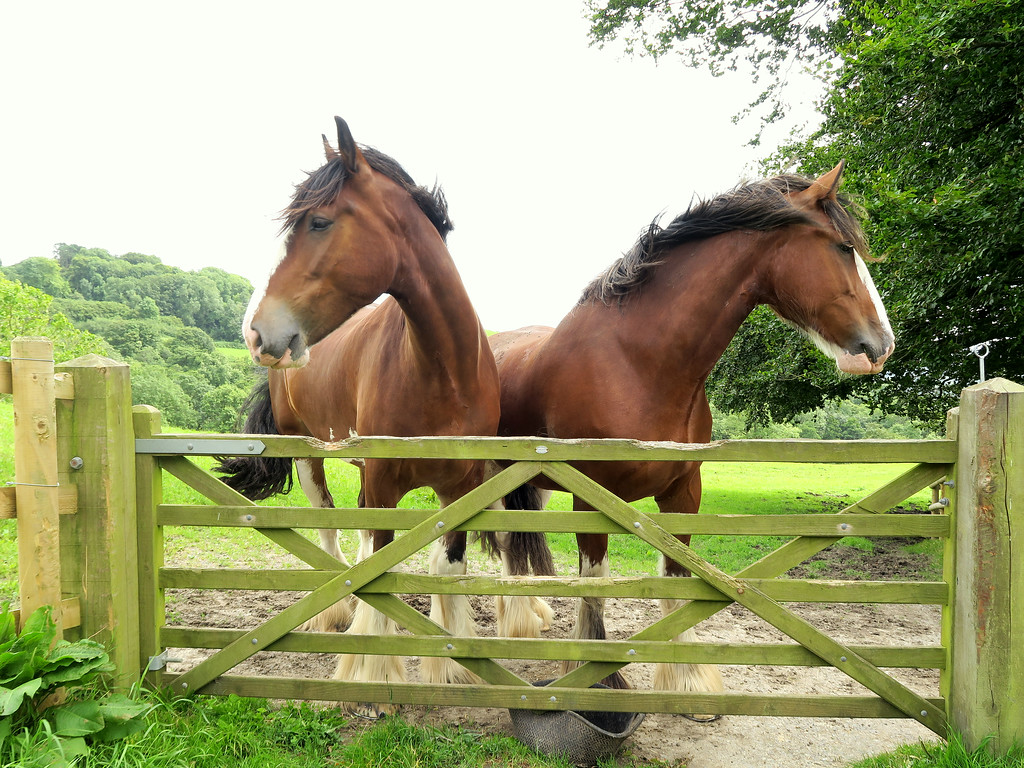 These two magnificent and friendly Clydesdale horses, Ronnie and Bruce, watch us over the gate.