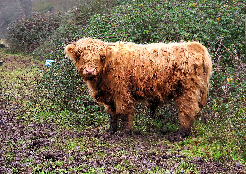 A young Highland bull at the Dorset Wildlife Trust sanctuary