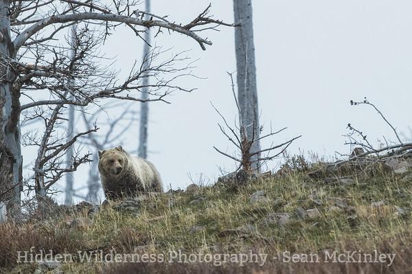 Ghost Bear