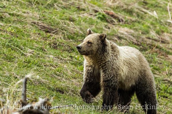 Bearclaw