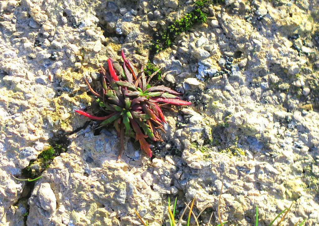 An attractive little plant which was seen growing at Seacombe Cliff
