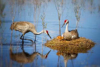 (SC34) Sandhill Crane Family
