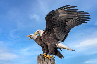 (EA16) Bald Eagles