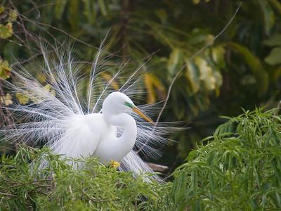 (EG3) Great Egret