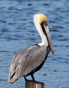 (C48) Brown Pelican at Mosquito Lagoon, Florida