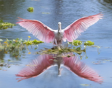 (RS54) Roseate Spoonbill flying in at Orlando Wetlands