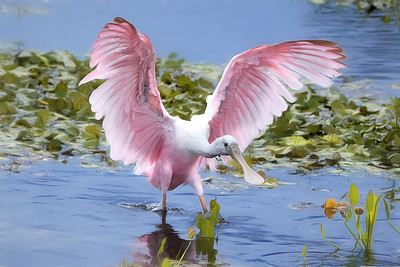 (RS53) Juvenile Roseate Spoonbill at the Orlando Wetlands Park