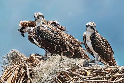 (OS17) Osprey on Nest