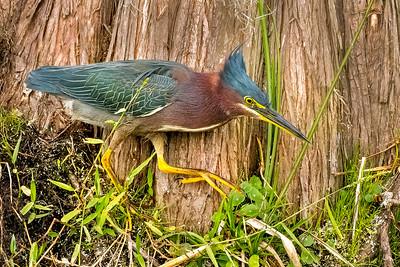 (GH2) Green Heron