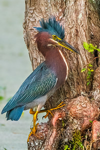 (GH1) Green Heron