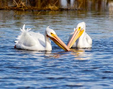 (PE20) White Pelicans