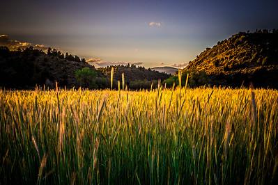 Grain Fields - August