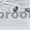 dnews_1223_Water_Fowl_03