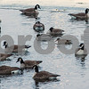 dnews_1223_Water_Fowl_02