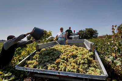Europe, France, Provence, Chateauneuf-du-Pape, famous vineyards, picking grapes, harvest