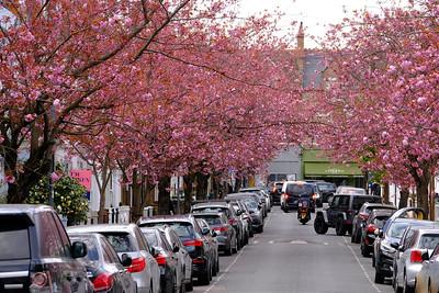 Spring blossom, Linver Road, SW6, London, United Kingdom