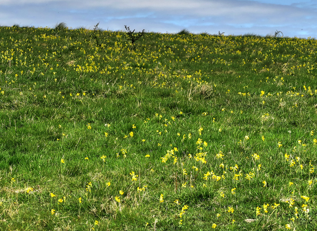 Hod Hill and lots of Cowslips.   We have been very lucky with the plants this year - everything that comes into flower does so in great abundance.