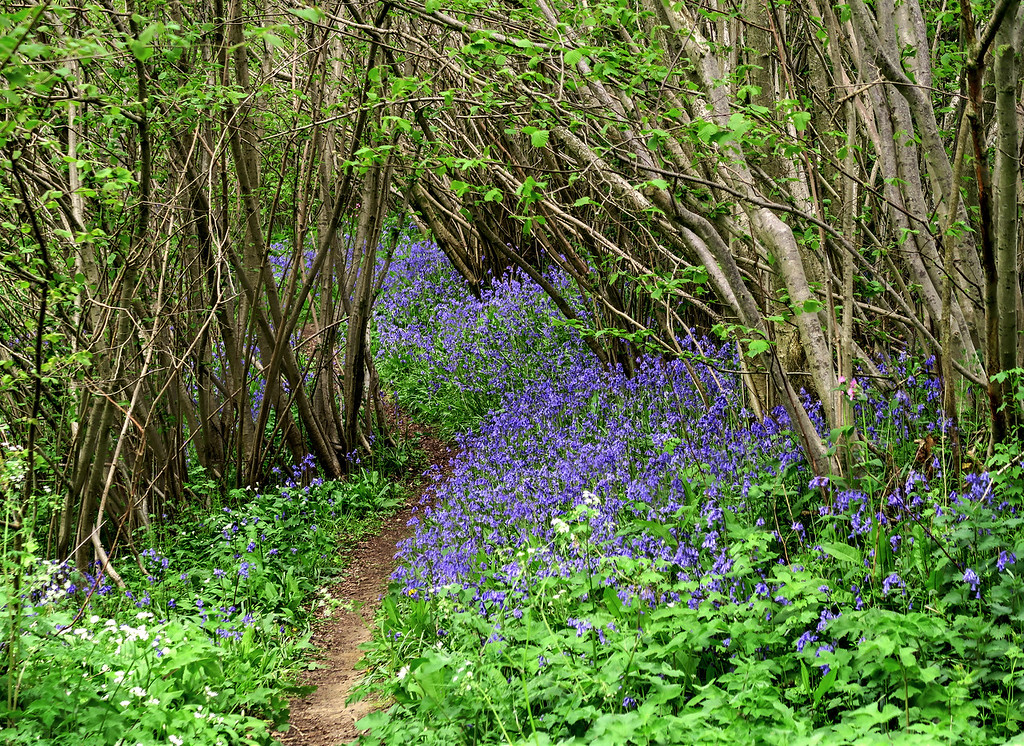 On the walk down from the Hill there are lots of Bluebells along the path