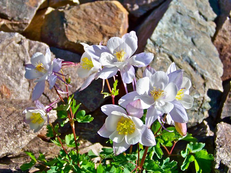 Beautiful White Columbines thrive at 12,500 ft. along the Castle Peak trail, Colorado Elk Range.
