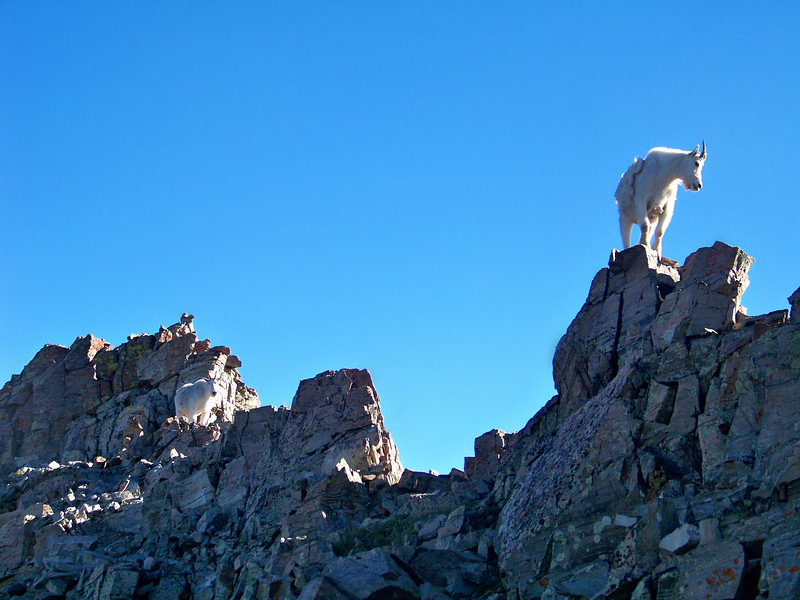 Mountain Goats line up high on the Maroon Peak south ridge crest at 13,500 ft.