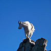 Mountain Goat perched high on a rock spire at 13,500 ft., Maroon Peak, Colorado Elk Range