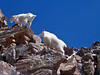 Mountain Goats easily scramble along the Maroon Peak south ridge at 13,800 ft., Colorado Elk Range