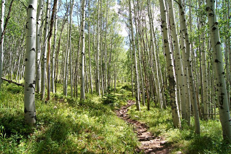 Winding through an aspen grove in the Maroon-Snowmass wilderness, Colorado Elk Range