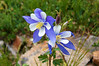 Colorado Columbines thrive in the northeast basin of Grays and Torreys Peaks.